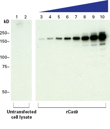 The sensitivity of Cas9 polyclonal antibody assessed by Western blot