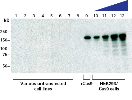 The specificity of Cas9 polyclonal antibody assessed by Western blot