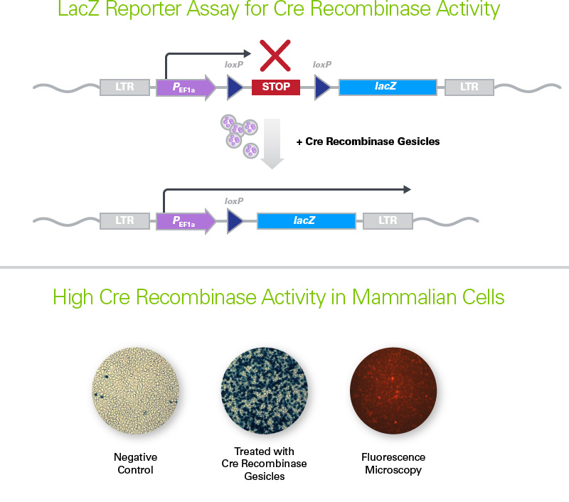 LacZ Reporter Assay for Cre Recombinase Gesicles