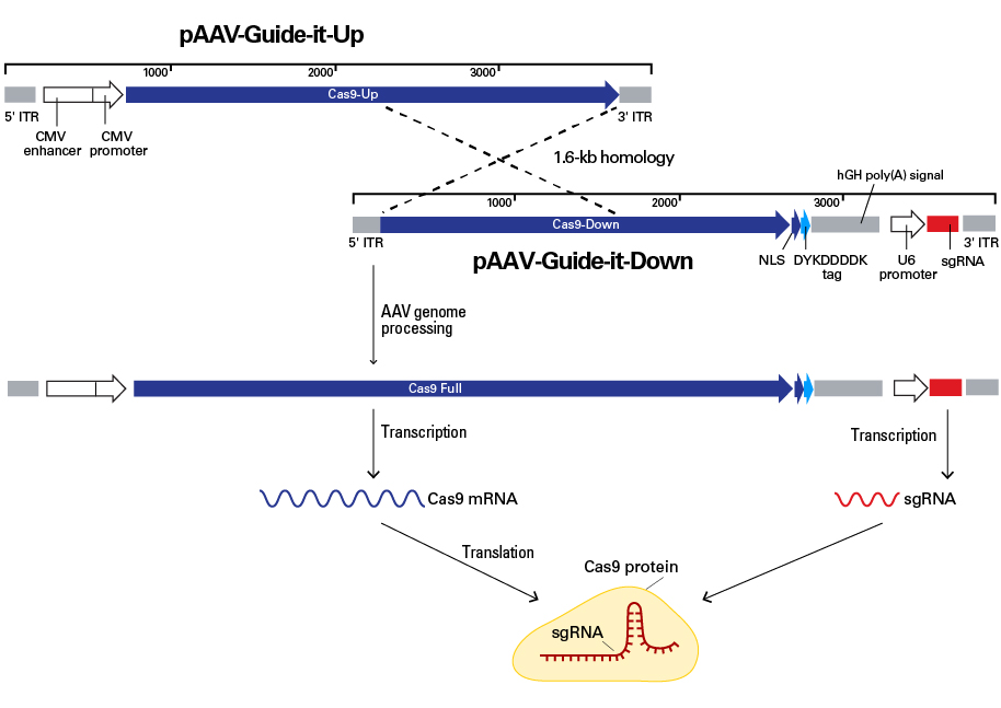 AAV vector recombination to produce full-length Cas9 and sgRNA