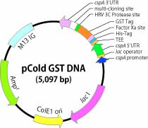 pCold GST DNA Vector Map