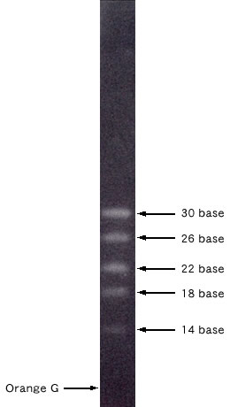 Visualization of 14-30 ssRNA Ladder Marker by Electrophoresis An aliquot of the 14-30 ssRNA Ladder Marker was resolved on a 15% acrylamide gel and stained with SYBR Green II to visualize the RNAs