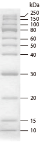 Migration pattern of CLEARLY Protein Ladder (Unstained) (Cat.# 3453A) on a 12% SDS-PAGE gel.