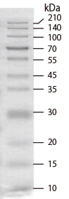 Migration pattern of CLEARLY Stained Protein Ladder (Cat.# 3454A) on an 12% SDS-PAGE gel