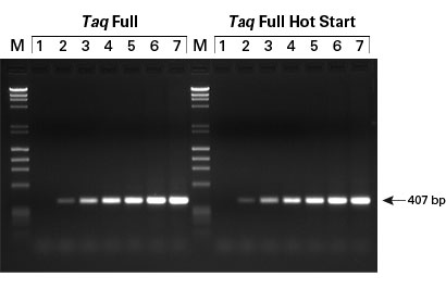 Amplification of a single-copy gene from calf thymus genomic DNA using Taq Full DNA Polymerases