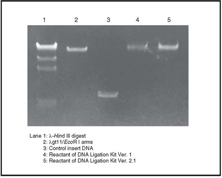 Fast ligation of a DNA fragment into a phage vector