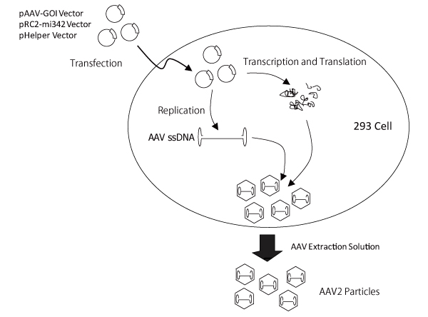 Preparation of AAV2 particles using the AAVpro Helper Free System (AAV2)