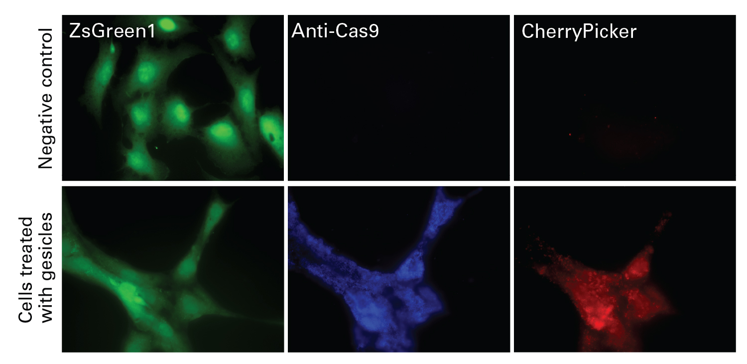 Cas9 protein delivery in culture cells