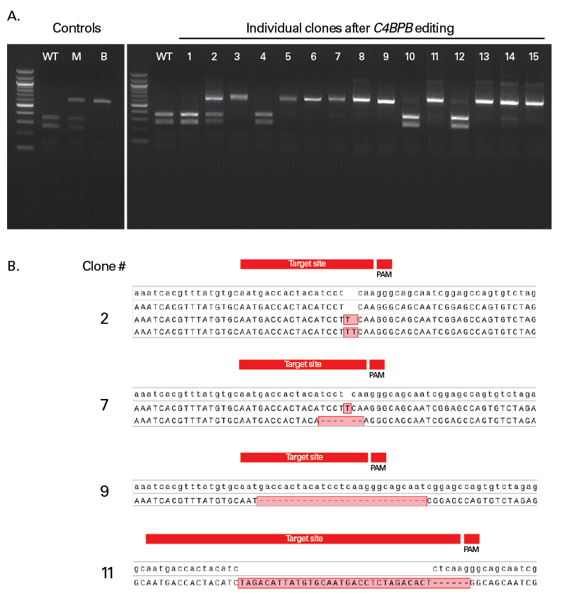 Accurate determination of genotype in HEK 293 cells