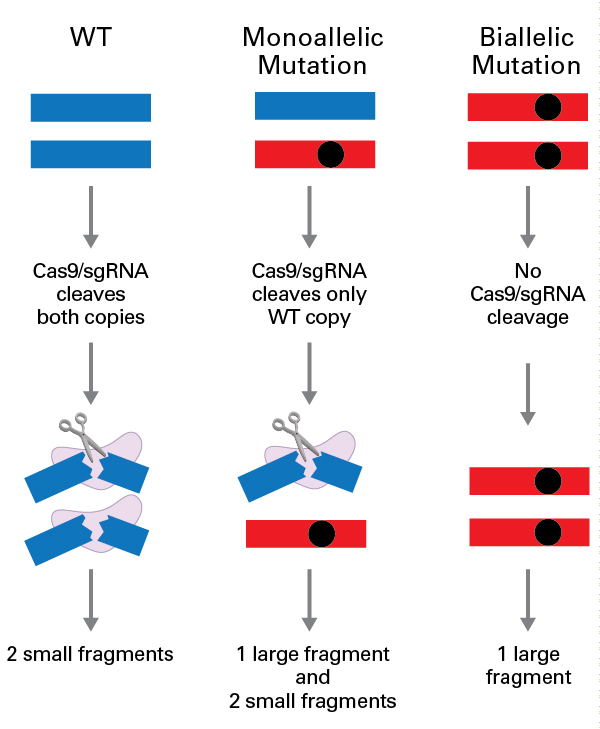 Genotype determination by in vitro Cas9/sgRNA cleavage