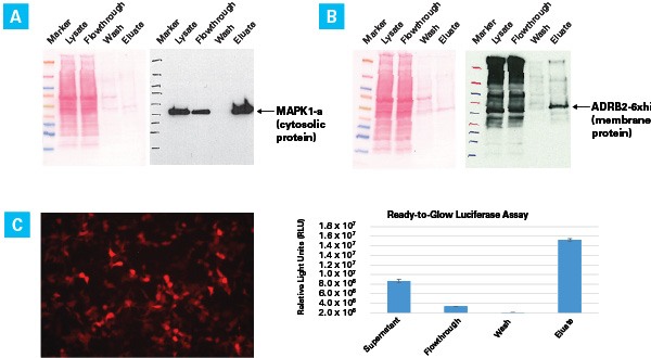 High yield and activity of his-tagged Metridia luciferase purified using the Capturem His-Tagged Purification Maxiprep Kit