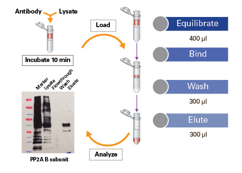 Capturem Protein A Miniprep workflow for antibody purification