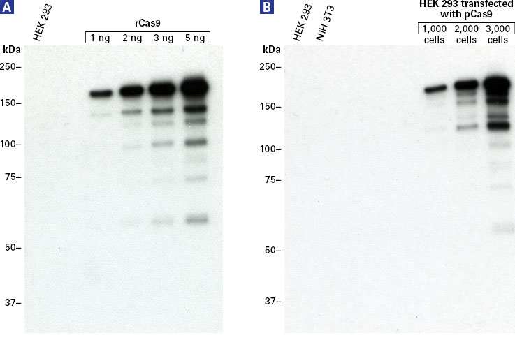 Western blot analysis of the Guide-it Cas9 Monoclonal Antibody (Clone TG8C1)