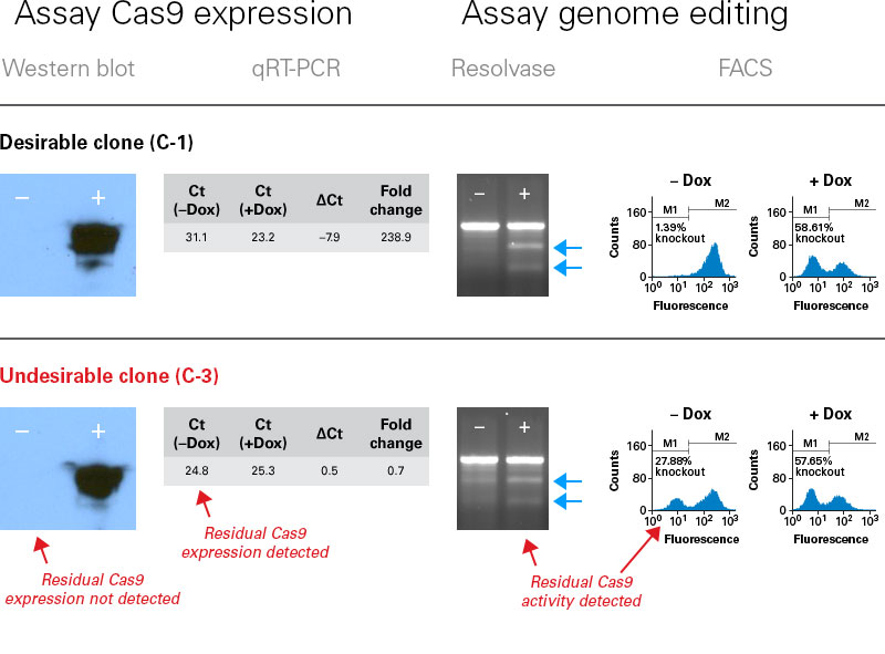 Choosing an optimal clone for inducible genome editing