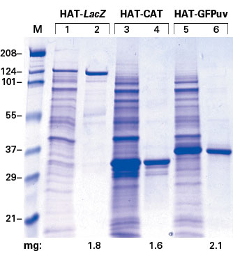 Obtain large amounts of highly pure HAT-tagged proteins with TALON Single Step Columns