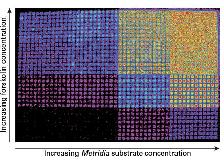 Use of secreted Metridia luciferase in a high-throughput screening (HTS) application