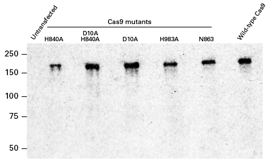 The Cas9 polyclonal antibody recognizes wild-type and nickase mutant Cas9 protein