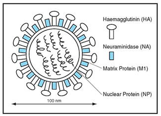 Structure of Influenza Virus