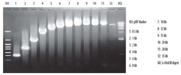 Amplification of lambda DNA fragments ranging from 0.5-35 kb using TaKaRa LA Taq DNA polymerase.