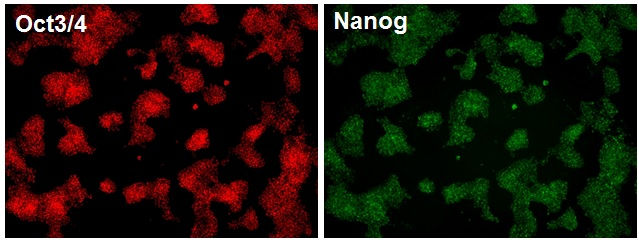 Mouse embryonic stem cells were cultured for 3 passages in GS2-M and then labelled for Oct3/4 (red) and Nanog (green), indicating that the cells were pluripotent
