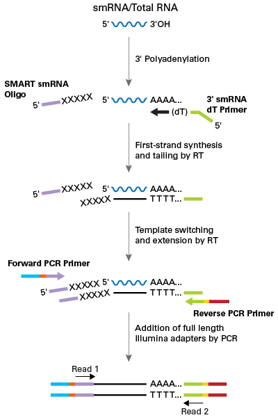 Schematic of technology used by the SMARTer smRNA-Seq Kit for Illumina