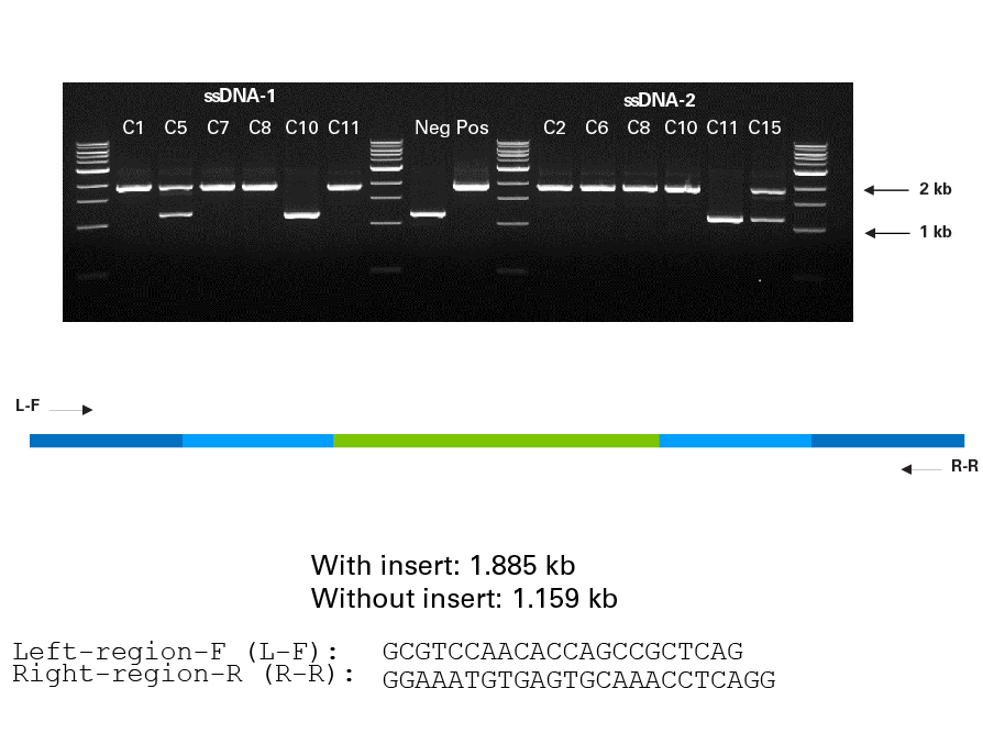 PCR analysis of AcGFP1 knockin at the SEC61B locus in clonal populations isolated by FACS