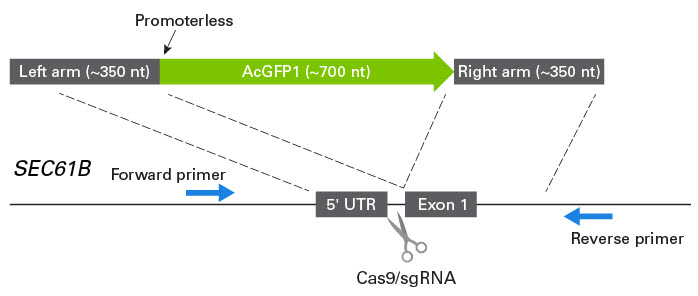 Schematic depicting Cas9-sgRNA cleavage site and ssDNA construct designed for knockin of AcGFP1 at the SEC61B locus