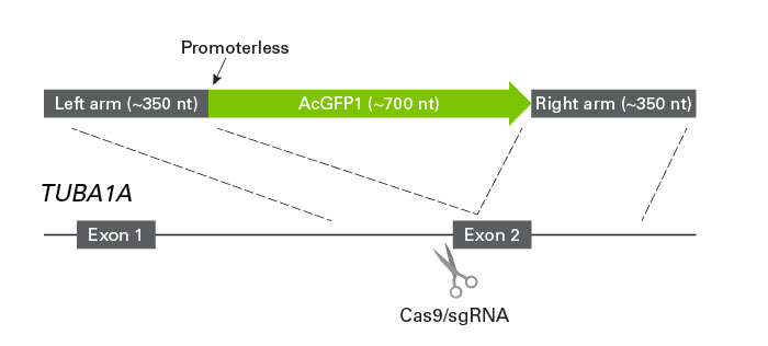 Schematic of Cas9-sgRNA cleavage site and ssDNA construct designed for knockin of AcGFP1 at the TUBA1A locus