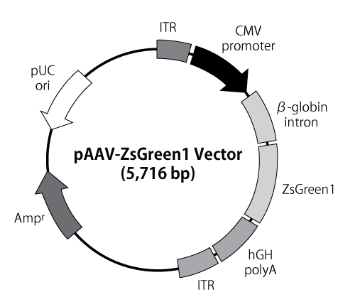 pAAV-ZsGreen1 vector map