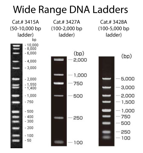 Migration patterns for Wide Range DNA Ladders: Cat.# 3415A (50-10,000 bp), Cat.# 3427A (100-2,000 bp), and Cat.# 3428A (100-5,000 bp)