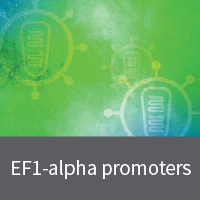 Lentivirus with EF1-alpha promoters