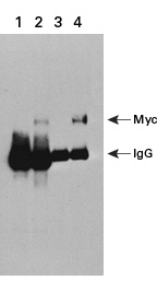 Co-immunoprecipitation detection using c-Myc monoclonal antibody