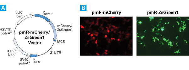 The pmR-mCherry and pmR-ZsGreen1 Vectors