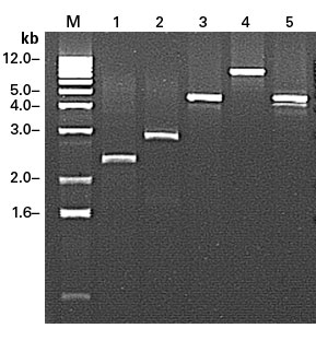 Generation of full-length cDNA by end-to-end amplification from adaptor-ligated ds cDNA