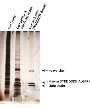 Clontech's Anti-DYKDDDDK Beads for immunoprecipitation provide higher purity and lower background when compared with Competitor S's anti-FLAG beads