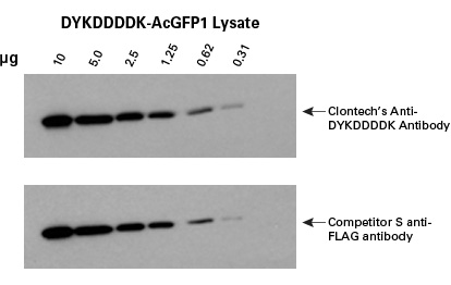 Clontech's Anti-DYKDDDDK Antibody provides the same great sensitivity as the competitor's antibody on Western blots