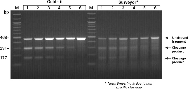 Comparison of the Guide-it and Surveyor assays for detecting mutations in mammalian cells
