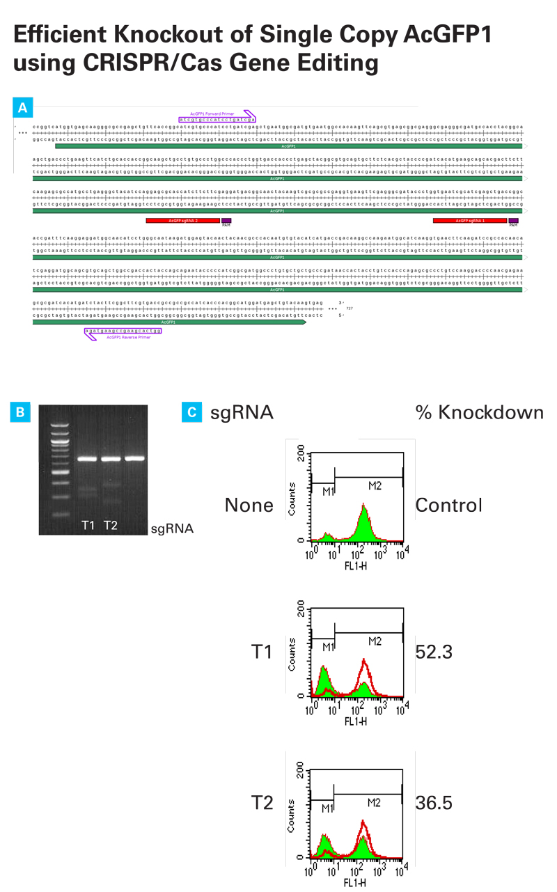Successful knockout of AcGFP1 in HT1080 cells using the CRISPR/Cas9 system