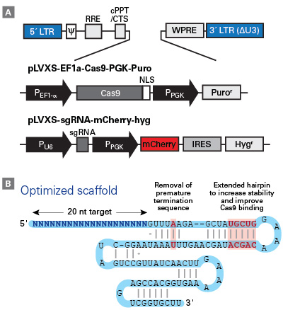 Vector and sgRNA scaffold design used in the Guide-it CRISPR sgRNA library