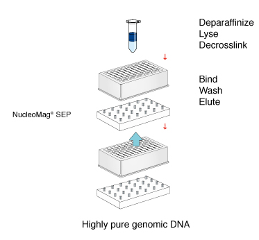The NucleoMag DNA FFPE kit leverages the reversible adsorption of nucleic acids on paramagnetic beads to allow a quick, simple workflow for high-purity genomic DNA from FFPE tissue.